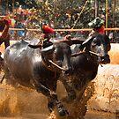 Kambala: The buffalo  race by Dinni H