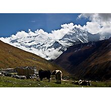 Yaks of Annapurna Photographic Print