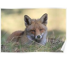 Red Fox - 2369 Poster