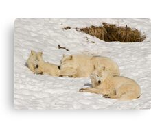 Three not so bad wolves Canvas Print