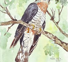 Red-chested Cuckoo (Piet-My-Vrou) by Maree Clarkson