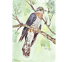 Red-chested Cuckoo (Piet-My-Vrou) Photographic Print