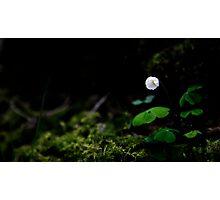 Wood Sorrel Photographic Print