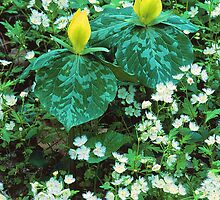 YELLOW TRILLIUM AND FRINGED PHACELIA by Chuck Wickham