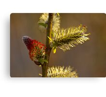 Plant, Goat willow, Salix caprea, catkins Canvas Print