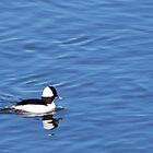 ROT Bottom Left - Bufflehead by BTroy