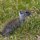 Ground Squirrel by Randall Ingalls