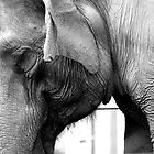 Elephant Portrait - Black and White by Michael Irrera
