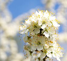 Blues skies and blossom by Sally Allerton