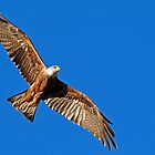 Red Kite Soaring by Angus Russell