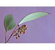 Eucalyptus Leaves And Buds - Macro  Photographic Print