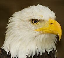 Bald Eagle by spredwood