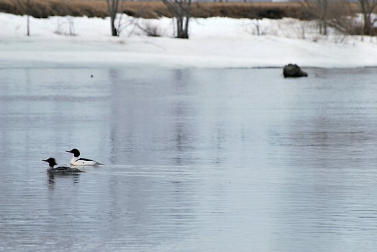 Common Merganser Pair by BTroy