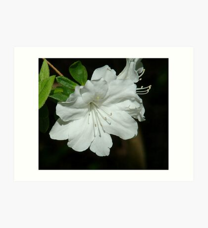 Azaleas for Ducilla Art Print