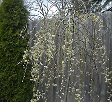 Small Weeping Willow Flowering Tree by Felicia722