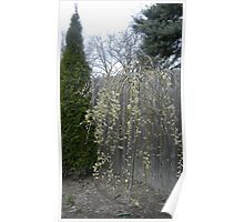Small Weeping Willow Flowering Tree Poster