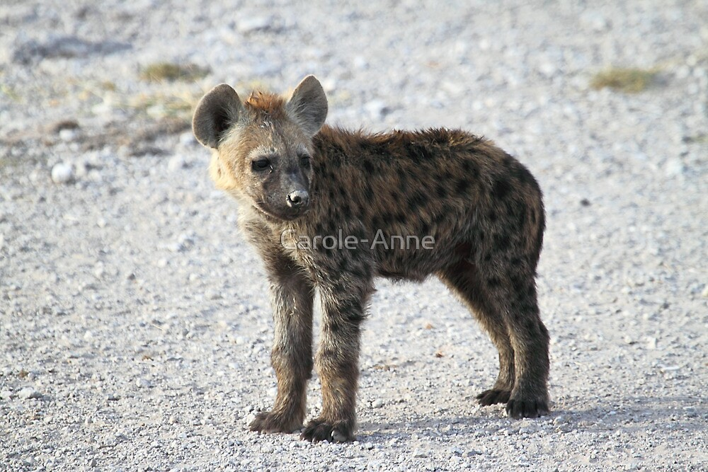Spotted Hyena pup, Kenya.  by Carole-Anne
