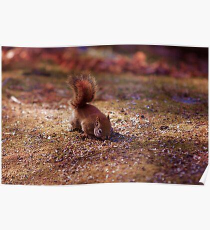 Squirrel - Ottawa, Ontario Poster
