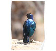 Superb Starling, Kenya Poster