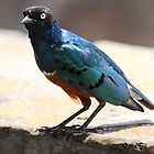 Superb Starling, Kenya  by Carole-Anne