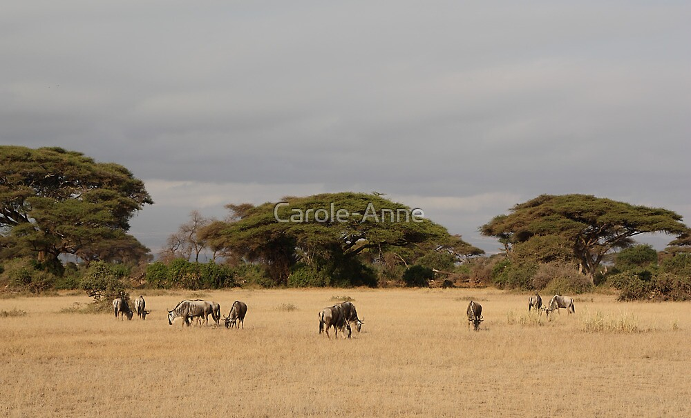 Wildebeest, White Race, Kenya  by Carole-Anne