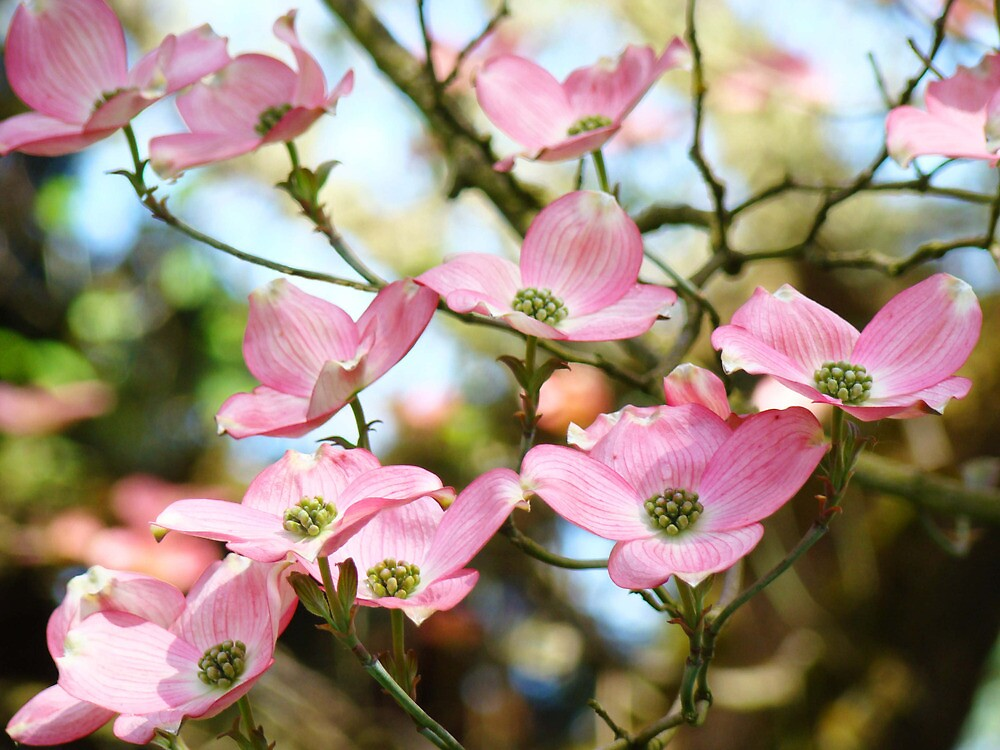 Quot Trees Pink Dogwood Tree Flowers Art Baslee Troutman Quot By