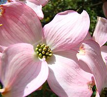 Floral Spring Pink Dogwood Tree Flowers Baslee Troutman by BasleeArtPrints