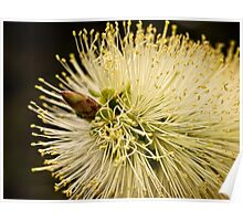 Lemon bottlebrush bloom Poster