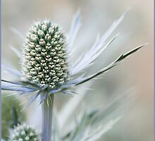 Alpine Sea Holly by AlysonArtShop
