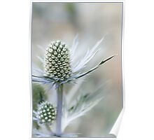 Alpine Sea Holly Poster