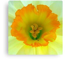 Daffodil close-up with visitor Canvas Print
