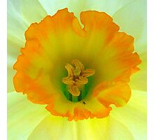Daffodil close-up with visitor Photographic Print