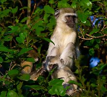 Vervet Monkey at Lake Manyara by Sue Hawken