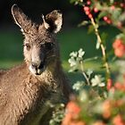 Eastern Grey Kangaroo by UniSoul
