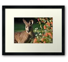 Eastern Grey Kangaroo Framed Print