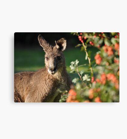 Eastern Grey Kangaroo Canvas Print