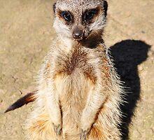 Meerkat by Georgia Rose Smith