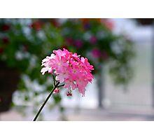 Small ode to spring joy - Verbena Photographic Print