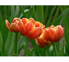 tulips 3 more Photographic Print