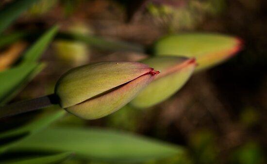 Tulpen by Dania Reichmuth