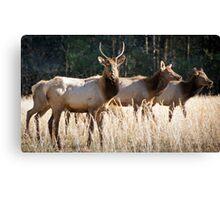 Cataloochee Elk - Great Smoky Mountains Wildlife Photography Canvas Print