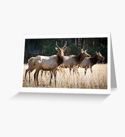 Cataloochee Elk - Great Smoky Mountains Wildlife Photography Greeting Card