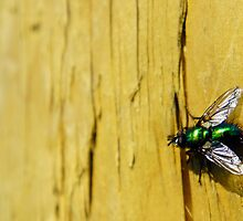 Green Bottle Fly  by AndrewBerry