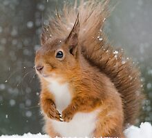 Cute Red Squirrel by Nigel Tinlin