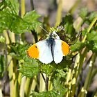 Orange Tip Butterfly by dilouise