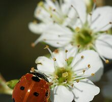 Ladybird On Wild Horthorn by Roger Hall