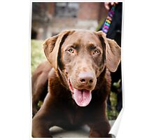 Beautiful chocolate labrador retriever  Poster