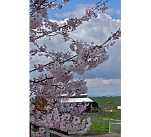 Cherry blossoms at the Farm Photographic Print