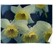 A small collection of wild traditional daffodils  Poster