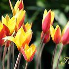 Tulips by rasnidreamer